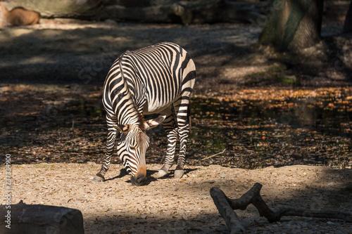 Bergzebra - Equus zebra hartmannae - 237334900