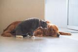 Golden Hound Intimate with British short-haired cat - 237339966