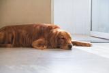 The Golden Hound lies on the ground. - 237340108