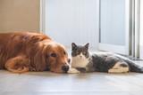Golden Hound Intimate with British short-haired cat - 237340189
