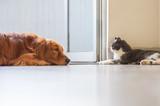 Golden Hound Intimate with British short-haired cat - 237340339
