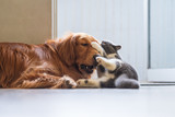 The Golden Hound plays with the kitten. - 237340358