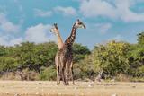 Giraffe on Etosha, Namibia safari wildlife