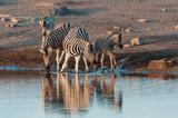 zebra reflection in Etosha Namibia wildlife safari