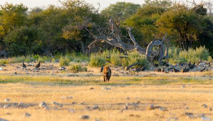 Spotted hyena, Namibia Africa safari wildlife