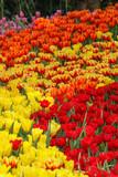 Tulips in Thailand