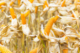 Raw Fresh Yellow Corn Cobs with Dry Plant in Field - 237348936
