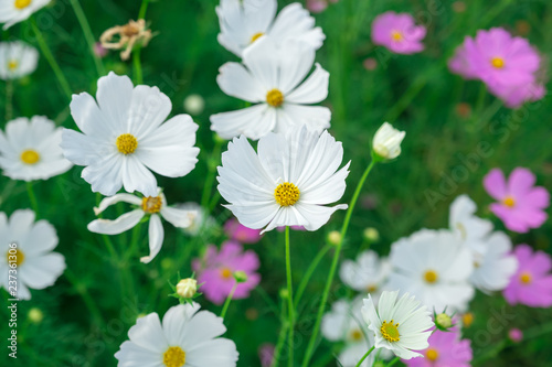 white and pink cosmos on green grass