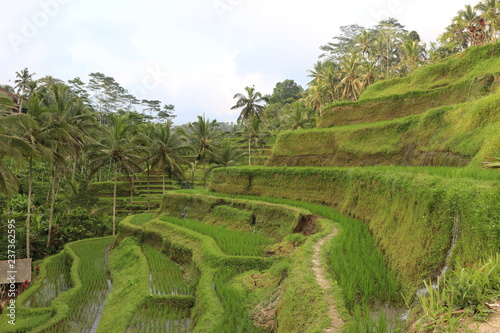 Ryż niełuskany Indonezja