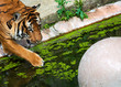 tiger playing with a ball in a mossy pool