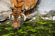 tiger taking a drink from a mossy pool