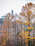 Pine trees changing color during autumn in Japan