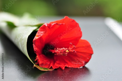 The hibiscus flower - 237388553