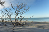 Calm morning on the shores of the Atlantic Ocean. Dry tree on the beach. Gulf of Mexico. Florida. USA.