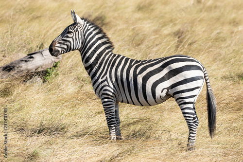Full body profile portrait of common zebra, Equus quagga, up close standing in the tall grass of the Masai Mara in Kenya, Africa - 237411730