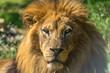 Close up portrait of a lion