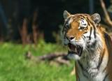 Close up portrait of a tiger, copy space