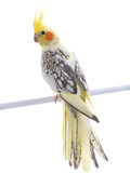 parrot corella isolated