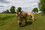 Fjord horses in the meadow