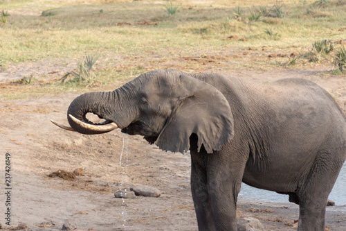 Elephant in the wild, drinking at waterhole