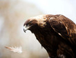 Golden Eagle With Feather