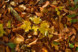 Fall of leaves on the ground in the woods - 237435981