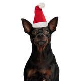 sad little pinscher dog wearing santa hat