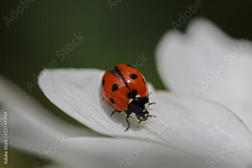 Leinwanddruck Bild Marienkäfer auf weißem Blütenblatt