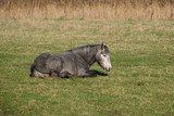 Horse laying on the grass at Southease in East Sussex