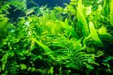 aquatic plant in aquarium tank - 237483185