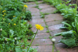 Lonely dandelion.