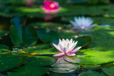 nymphaea alba - flower on the water