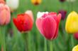 Tulip Boson, USA