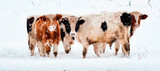 Cows in the snowy mountains, Carpathians, Ukraine