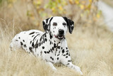 Smilling Dalmatian dog lying on golden autumn background