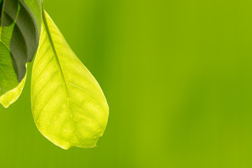 Light yellow, green leaf, nature, leaves, closeup, texture and background. © Samruay