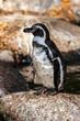 Leinwandbild Motiv Humboldt-Pinguin - Humboldt penguin