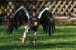 Riesenseeadler - Haliaeetus pelagicus