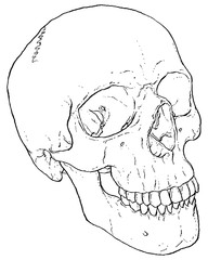 Anatomy Human Skull illustrated