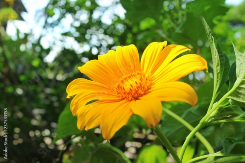 Beautiful Little Yellow Flower Tree Marigold Or Mexican Sunflower