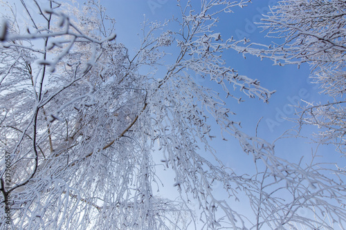 Frozen branches on a tree against a blue sky - 237560557