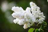Spring branch of blossoming white lilac with shallow depth of field and blurred. Green, natural background. - 237561157