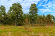 Pines on the edge of the forest on a sunny day - 237565156