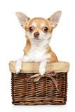 Chihuahua puppy in wicker basket