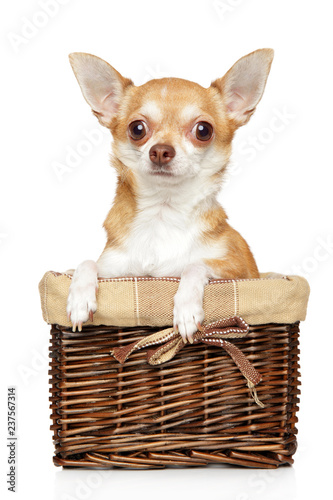 Chihuahua puppy in wicker basket