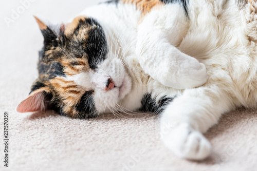 Leinwandbild Motiv Closeup portrait of one sleepy, sleeping calico cat face, head, side lying on carpet floor in house, home room, closed eyes, paws up, dreaming