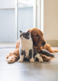 Golden Hound and British short-haired cat - 237571115