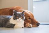 Golden Hound and British short-haired cat - 237571371
