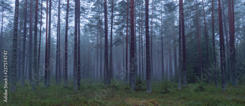 Pine tree in a foggy forest - 237574747