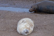 Quadro grey seal puppy while relaxing on the beach in Great Britain